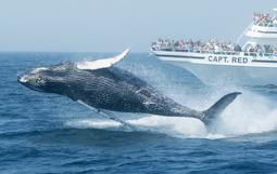 マサチューセッツの海でクジラが観られます