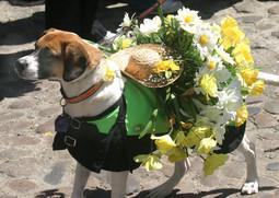 今年で44回目を迎える、州東部ナンタケット島の水仙祭り